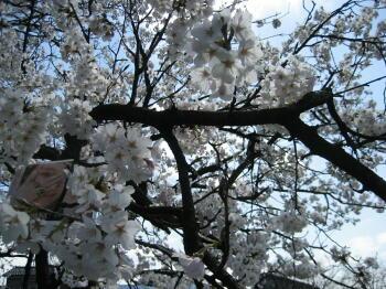 桜並木2010☆桜色舞うころ☆_c0113001_20253247.jpg