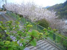 桜。_f0190816_2105474.jpg