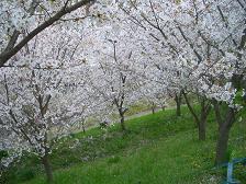 桜。_f0190816_2112064.jpg