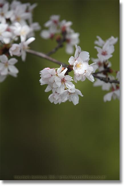 桜2010 後編_c0136524_2020153.jpg