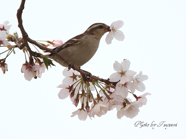 桜花を食む_f0037633_849591.jpg