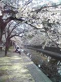 お花見~夙川_d0118053_1142439.jpg