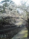 お花見~夙川_d0118053_1143921.jpg