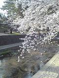 お花見~夙川_d0118053_1144354.jpg