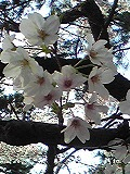 お花見~夙川_d0118053_11461632.jpg