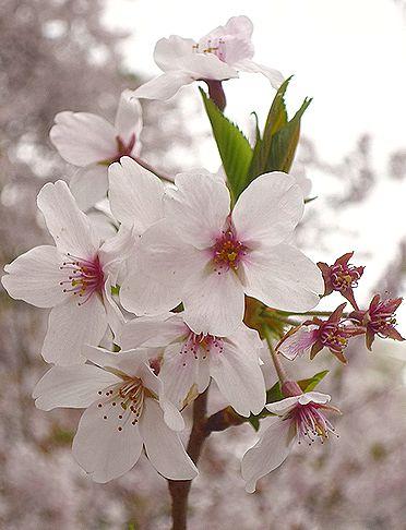 四旬節第5主日  日本を 優しく染める桜 と 祈り の 日曜日。。。.♡*† *・。・。+_a0053662_2101293.jpg