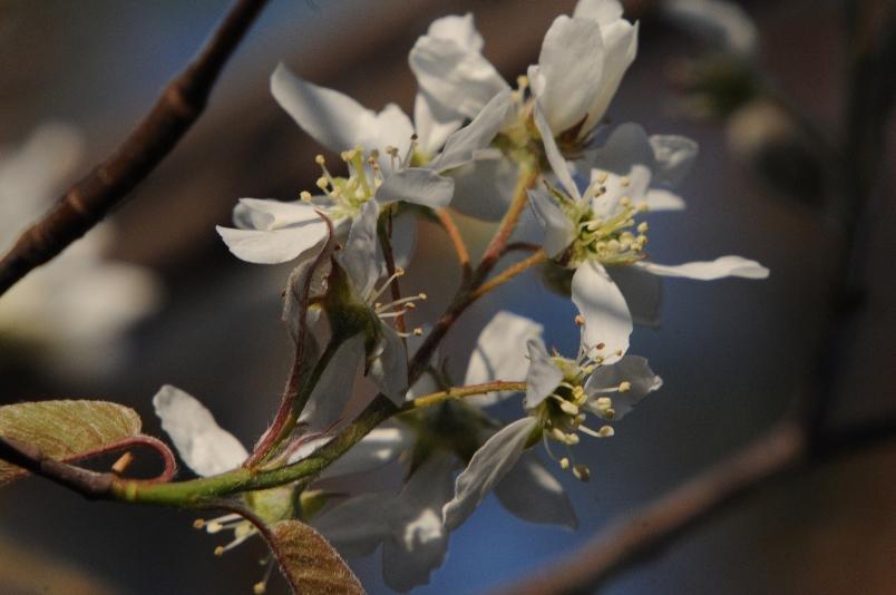 咲きだしたジューンベリーの花@散歩_d0056382_92433.jpg
