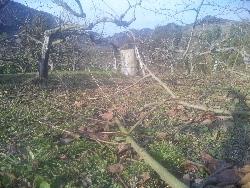 柿の剪定作業が...。_f0018099_1361069.jpg