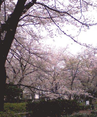 桜吹雪~♪_c0178231_13325432.jpg