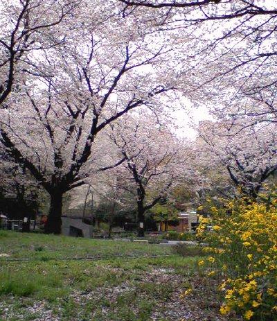 桜吹雪~♪_c0178231_1332644.jpg