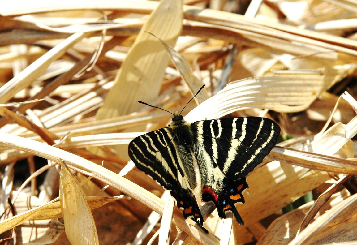 2010年4月の蝶_e0194952_841518.jpg