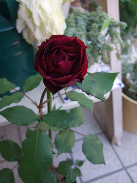オークリーフ(愛しい花)_f0049672_14113076.jpg