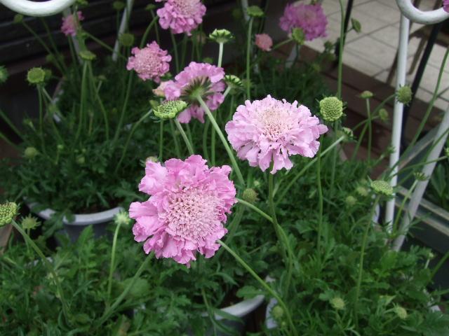 オークリーフ(愛しい花)_f0049672_1494473.jpg