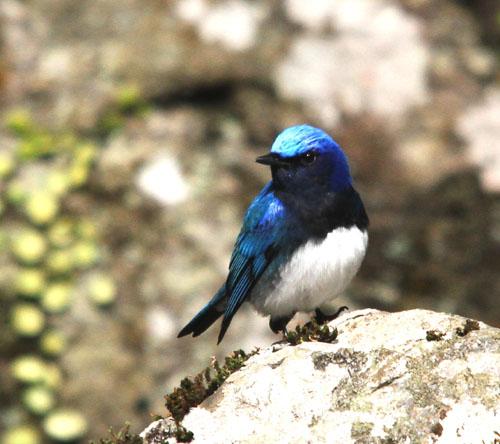 夏鳥の早い到来・・・オオルリ、コマドリ・・・_c0213607_18153953.jpg
