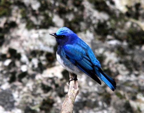 夏鳥の早い到来・・・オオルリ、コマドリ・・・_c0213607_1818340.jpg
