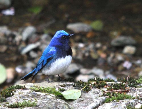 夏鳥の早い到来・・・オオルリ、コマドリ・・・_c0213607_18241437.jpg