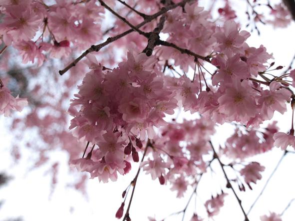 桜を少し。_d0051613_12503431.jpg