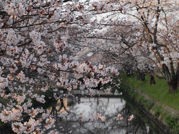 桜を少し。_d0051613_12514931.jpg