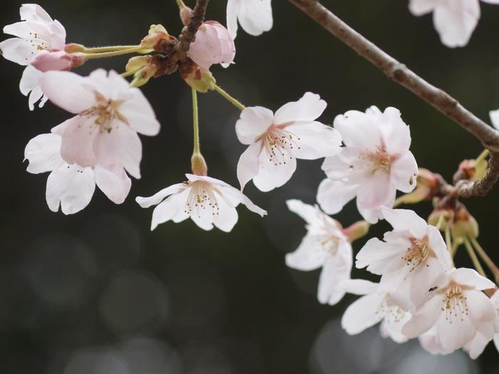 今日の桜(ソメイヨシノ)_c0116915_23334581.jpg
