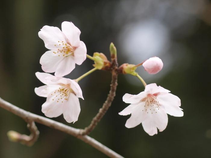 今日の桜(ソメイヨシノ)_c0116915_23335958.jpg