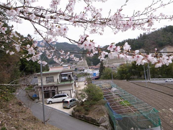 今日の桜(ソメイヨシノ)_c0116915_23345739.jpg
