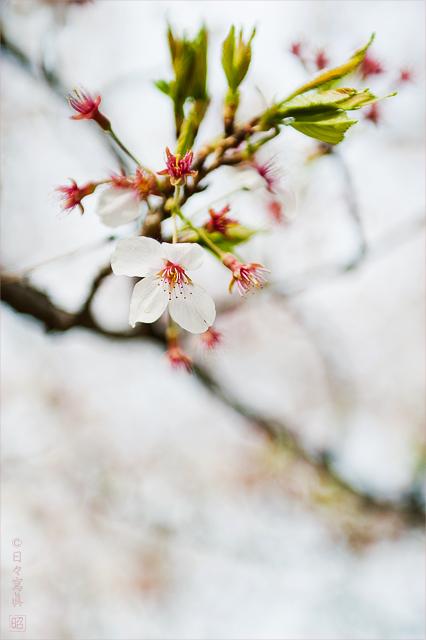 団地桜景 # 結_e0117517_15301.jpg
