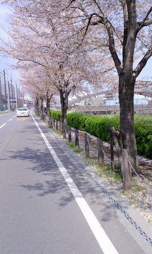 桜の花もそろそろ終わり_a0088939_16374598.jpg