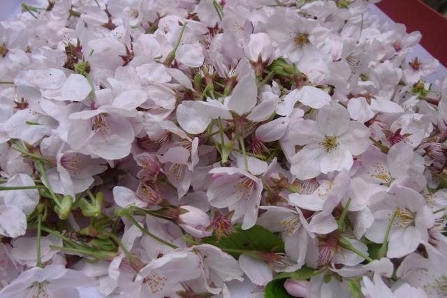 桜花でお茶を作る!!!_f0070743_2335881.jpg