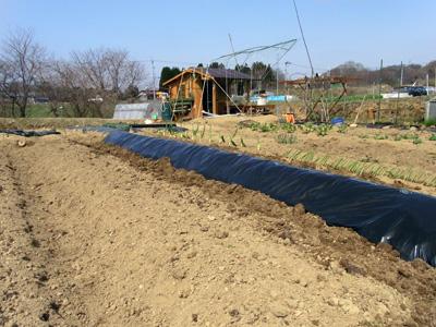 高畝深植黒マルチ農法_c0063348_701035.jpg