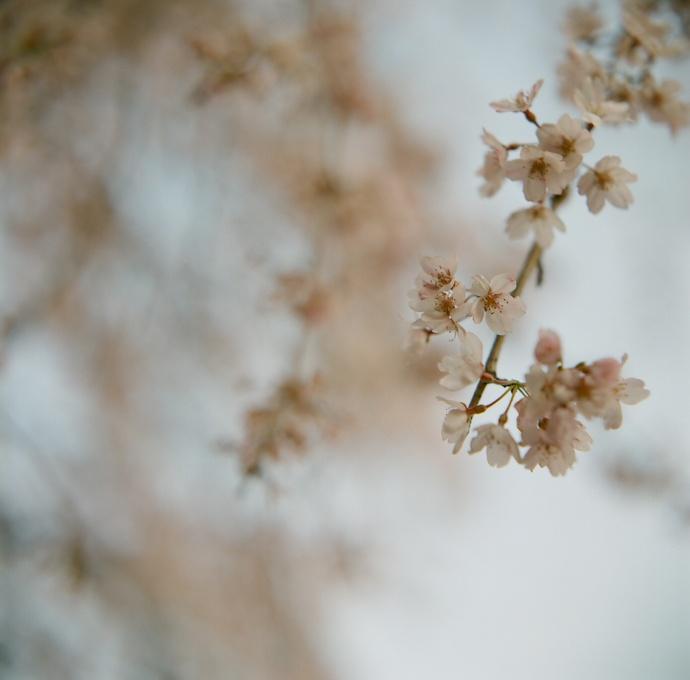 まずは、朝の桜に会ってみる。_c0136759_23513868.jpg