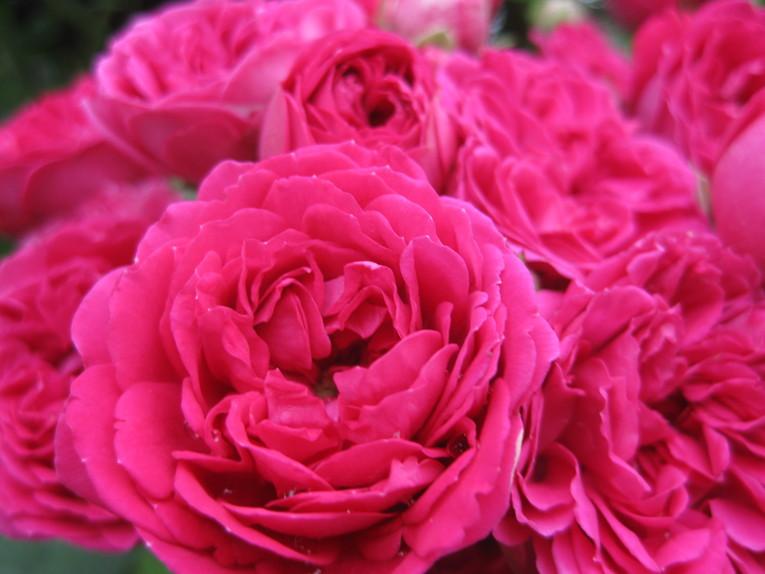 バラの庭を夢見て~_f0236260_1452018.jpg