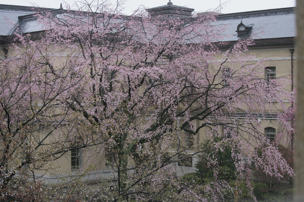 京都府庁 観桜会 3_f0021869_8231995.jpg