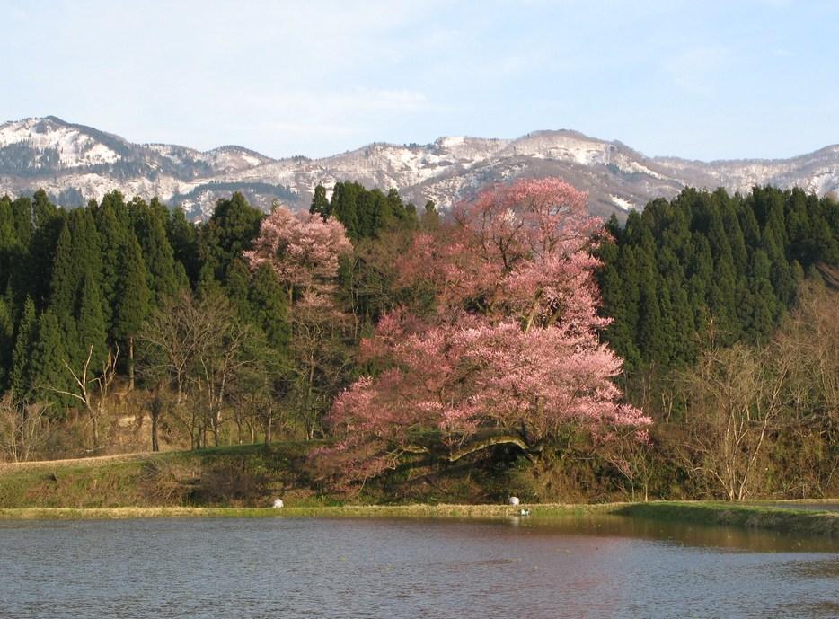 桜のある風景 Ⅲ (向野の江戸彼岸桜)_d0047885_1814764.jpg
