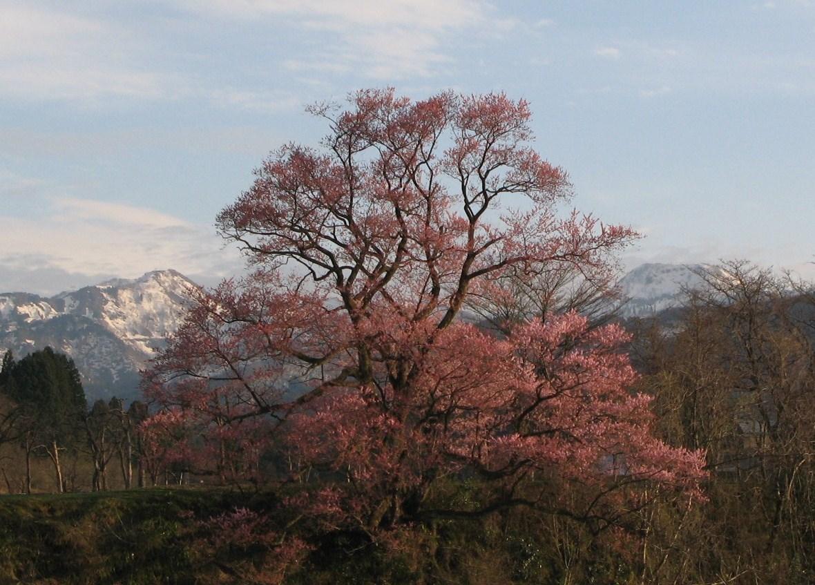 桜のある風景 Ⅲ (向野の江戸彼岸桜)_d0047885_1862366.jpg
