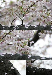 sakura_part3_f0192307_22401718.jpg