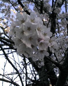桜_c0088525_11192834.jpg