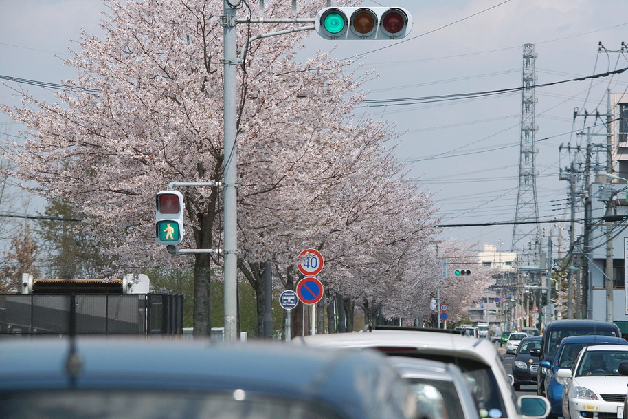 二郷半用水路沿いの満開桜_d0137627_062052.jpg