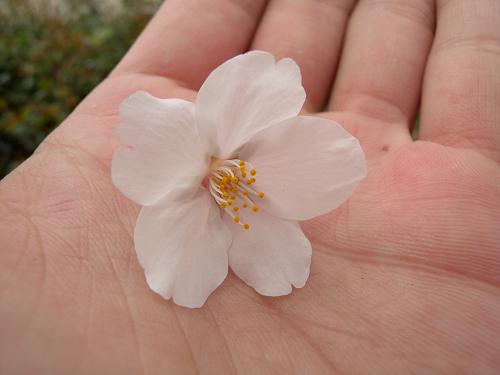 昨日撮った桜_e0089232_15294258.jpg