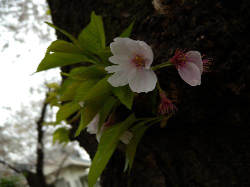 昨日撮った桜_e0089232_1529934.jpg