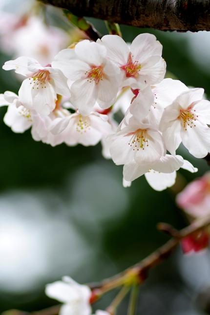 桜 2010 ~八幡山古墳~_d0145934_17572821.jpg