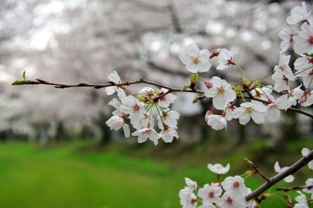 桜 2010 ~八幡山古墳~_d0145934_175794.jpg