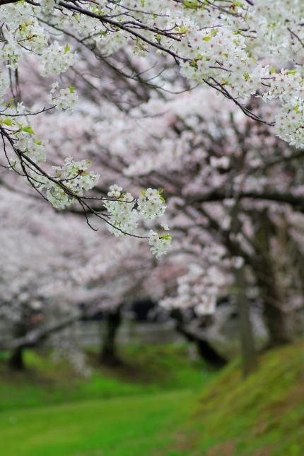 桜 2010 ~八幡山古墳~_d0145934_17584658.jpg