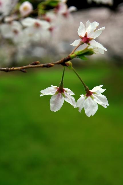桜 2010 ~八幡山古墳~_d0145934_1759859.jpg