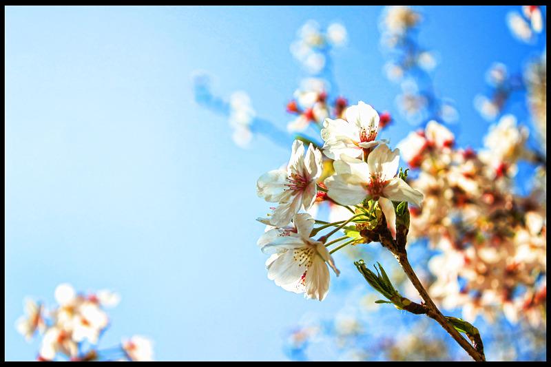 Cherry Blossoms_c0214542_23121092.jpg