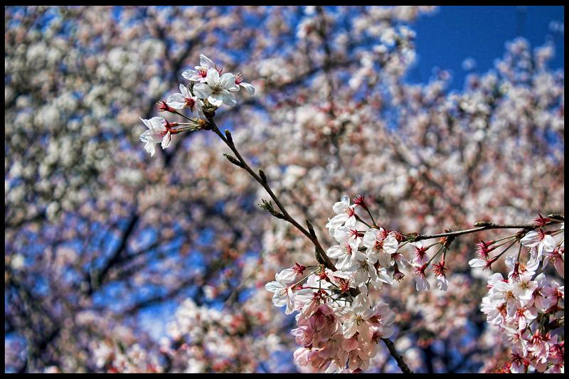 Cherry Blossoms_c0214542_23121712.jpg