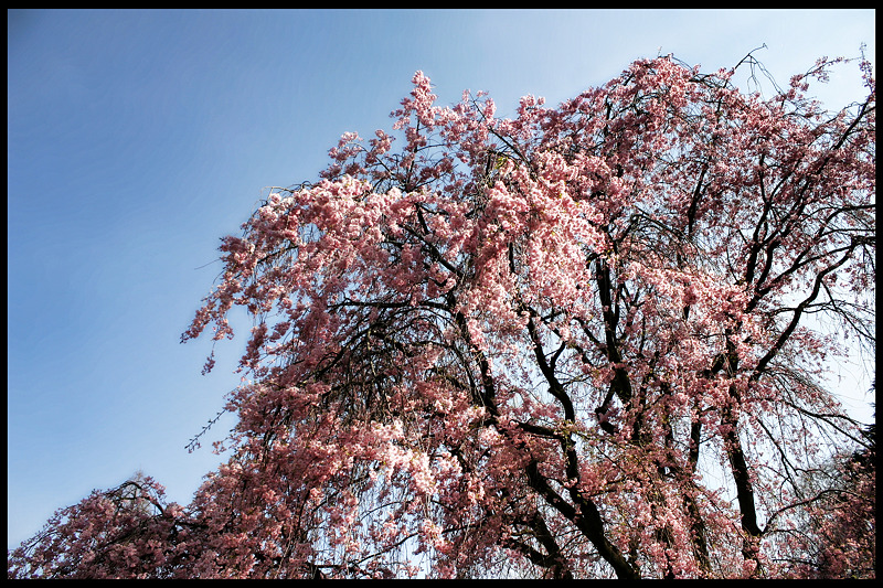Cherry Blossoms_c0214542_23122538.jpg