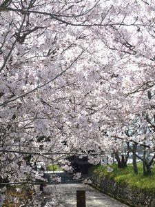 桜~_c0199544_21545185.jpg