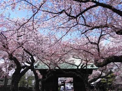 祐天寺の桜_c0019551_2048730.jpg