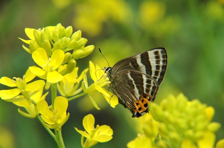 2010年4月の蝶_e0194952_19494969.jpg