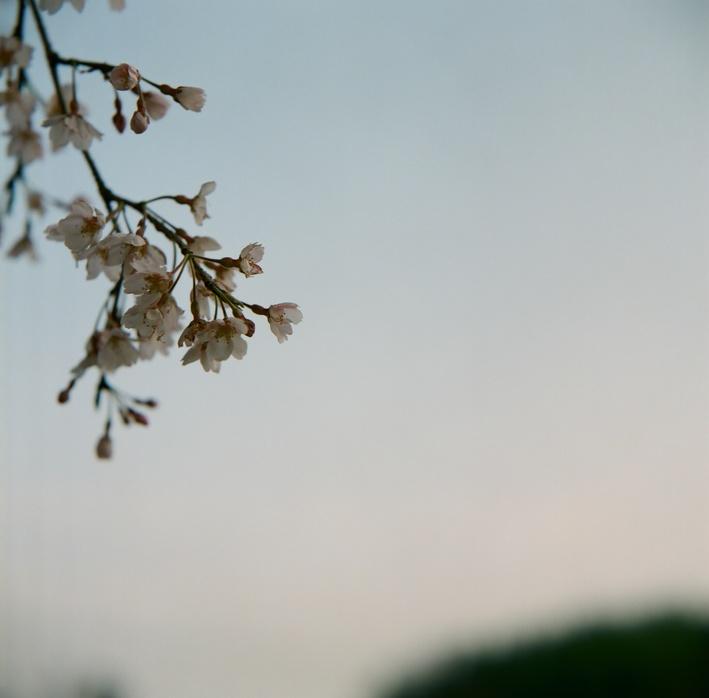 まずは、朝の桜に会ってみる。_c0136759_0162478.jpg